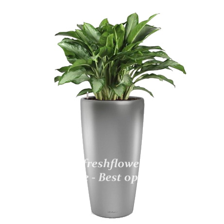 Potted plants and flowers (Aglaonema)