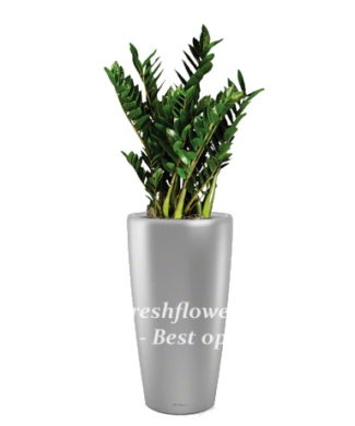 Potted plants and flowers (Zamioculcas)