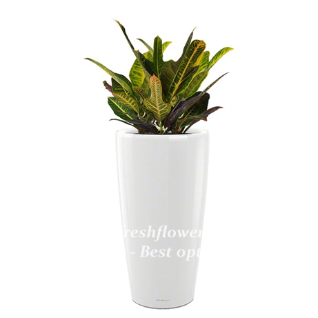 Potted plants and flowers (Codiaeum)