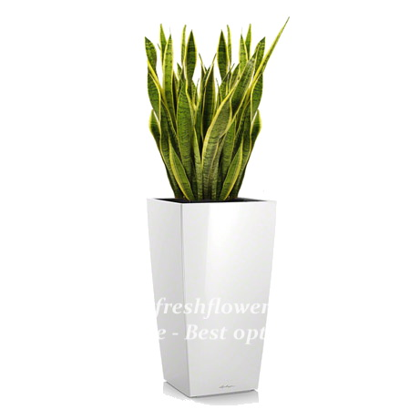 Potted plants and flowers (Sansevieria)