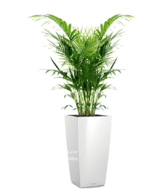 Potted plants and flowers (Howea)