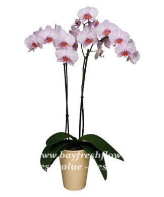 potted plants and flowers (plum orchid)